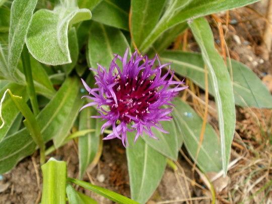 centaurea  (Centaurea 'Amethyst Dream')