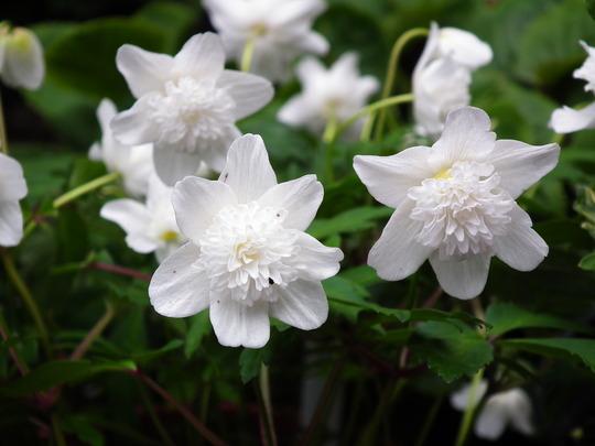 Anemone nemarosa vestal (Anemone nemarosa vestal)