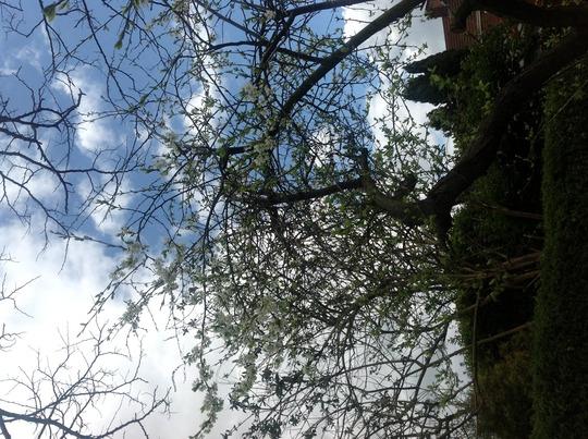 Victoria plum blossom