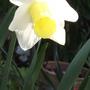 Narcissus Bravoure (Narcissus)