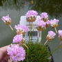 A pretty little thrift (Armeria juniperifolia)