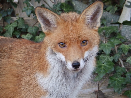 Father fox looking concerned!