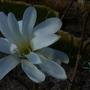 Magnolia Stellata....a birthday present. (Magnolia stellata (Star magnolia))