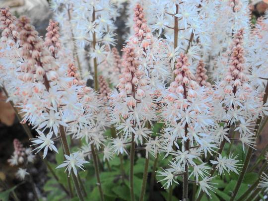 Tiarella 'Spring Symphony' (Tiarella cordifolia (Foam flower))