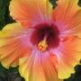 my hibiscus Rosa Sinensis Hybrid
