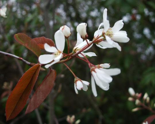 Amelanchier (Amelanchier lamarckii)