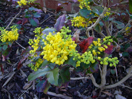 Mahonia Aquifolium - for my records (Mahonia aquifolium (Oregon grape))