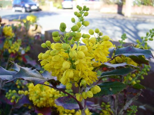 Mahonia Aquifolium - for my records (Mahonia aquifolium (Oregon grape))