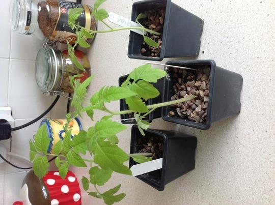 Tomato plants, Roma, gardener's delight, moneymaker and cherry