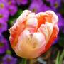 Tulip_peach_blossom