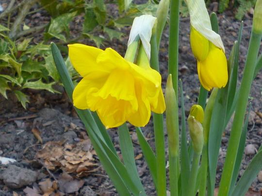 Narcissus 'Quail' (Narcissus 'Quail')
