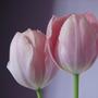 Tulipanky_003