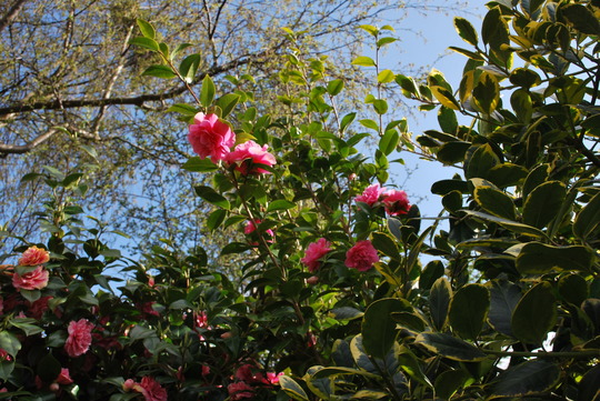 Camellias reaching for the  blue sky..... (Camellia)