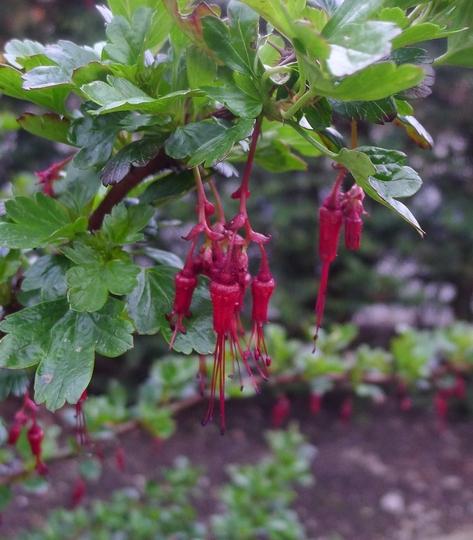 Ribes speciosum - 2013 (Ribes speciosum)
