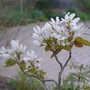 Amelanchier_lamarckii_ballerina_close_up_2013