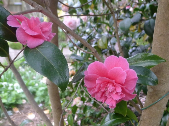 Camellia (red) - 2013 (Camellia)