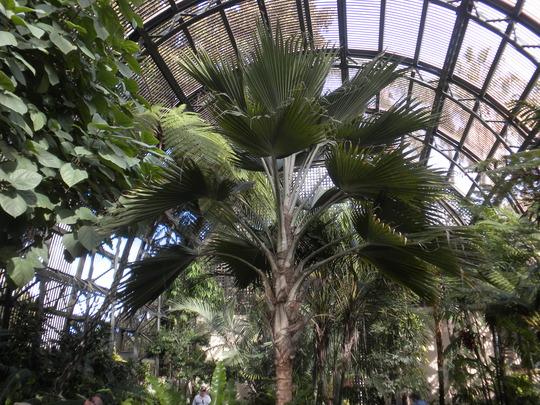 Pritchardia hillebrandii - Loulu Palm (Pritchardia hillebrandii - Loulu Palm)