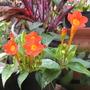 Brunfelsia nyctaginoides