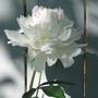 Peony  Festiva Maxima (p. lactiflora cultivar)