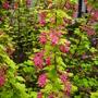 Ribes brocklebankii (Ribes brocklebankii)