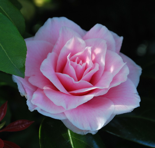The last Camellia to open.... (Camellia from Angie Homer in Cornwall.)