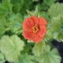 Geum_eos_flower
