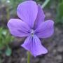 Viola cornuta 'Violacea' (Viola cornuta)