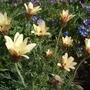 Leucanthemum_sunshine_peach_
