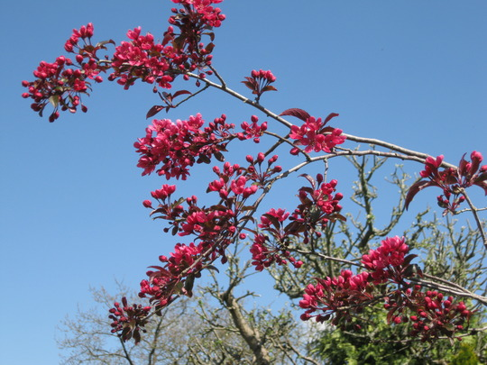 Malus blossom and blue skies.