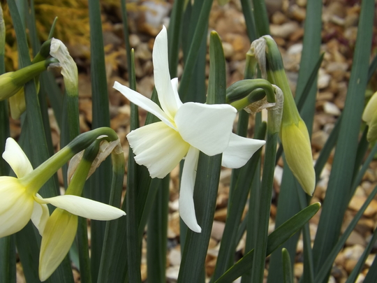 narcissus triandrus Tresambles (Narcissus triandrus)