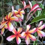 Plumeria 'Lucky Star' - Front and Back of Flowers