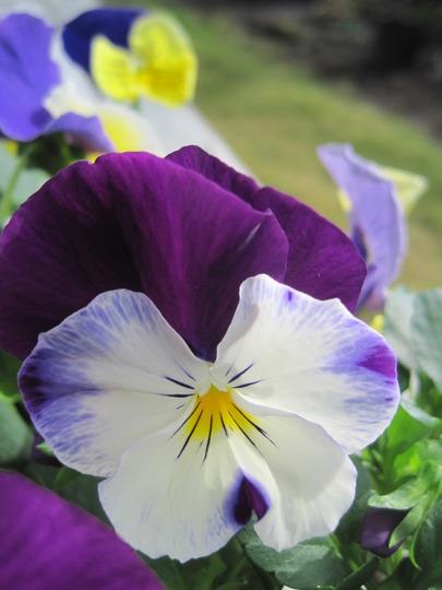 New Wave Pansy- Violet Wing (viola odorata, viola tricolor, viola cornuta)