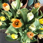 One of my pots of Tulips