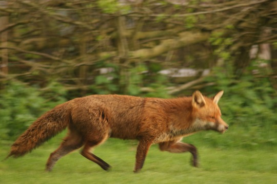 Vixen coming in for her evening nosh!