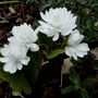 Blood Root (Sanguinaria canadensis Flore-pleno)