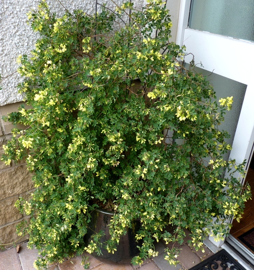 Coronilla valentina subsp. glauca 'Citrina' (Coronilla valentina (Coronille))