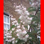 Deutzia_pride_of_rochester.jpgbordered