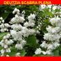 DEUTZIA 'SCABRA PLENA (Deutzia gracilis)