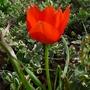 Tulipa_linifolia_2013