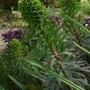 Euphorbia_characias_black_pearl_2013
