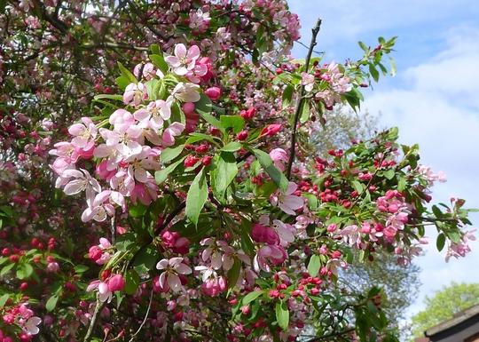 floribunda crabapple - photo #46