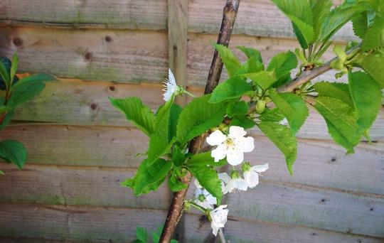 Closer of Stella (Prunus Avium Stella)
