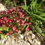 Red sax (Saxifrage mossy type)