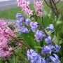 Spring 2013, new crop (Hyacinthoides non-scripta (Bluebell))