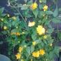 Spring_2013 (Kerria japonica (Japanese rose))