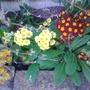 Spring_2013 (Primula florindae (Giant Himalayan Cowslip))