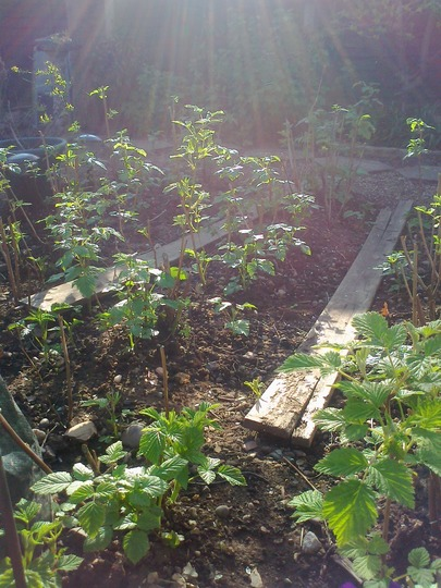 Spring 2013, new crop (Rubus idaeus (Summer fruiting raspberry))