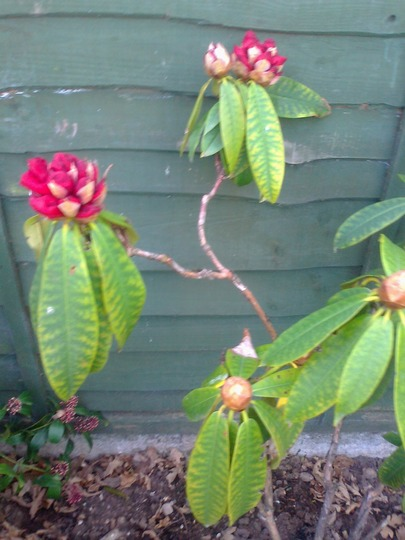 Spring_2013 (Rhododendron ponticum)