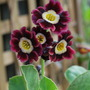 Auricula  flowering at long last!! (Primula auricula (Auricula))