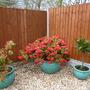 Rhododendron, Pieris and Lemon